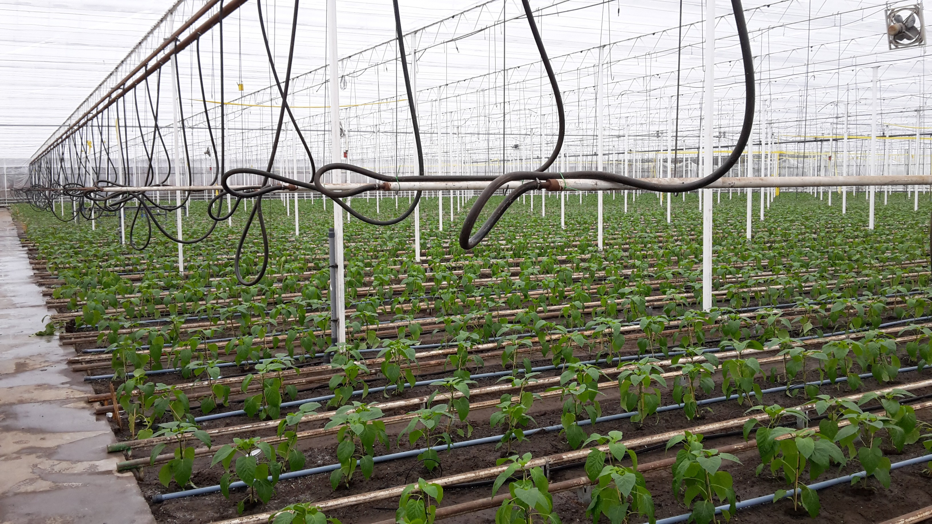 Strong growth of organic fruiting vegetables grown under glass